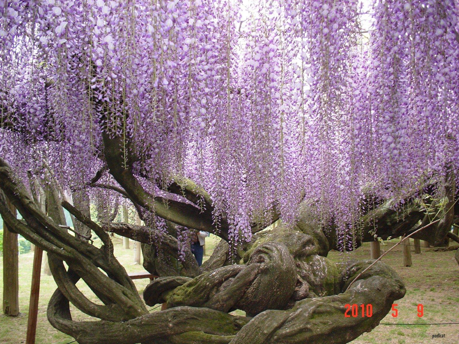 Kawachi Fuji Gardens Wisteria 2 Wonderlusting
