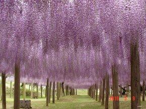 Breathtaking: Dreamy Flower Tunnel inJapan