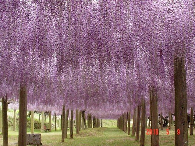 Kawachi Fuji Gardens wisteria