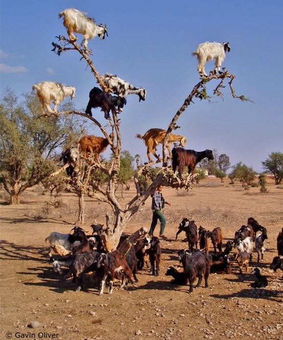 I love goats. Here they are casually hanging out in an argan tree.