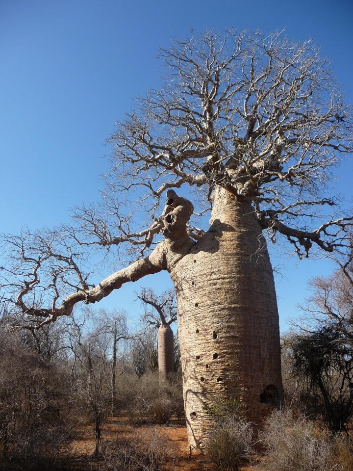 baobab-615356_1280