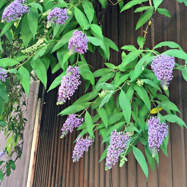 buddleja flowers