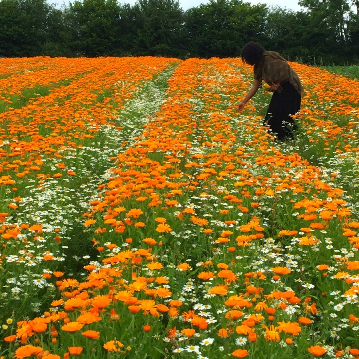 a field of calendula and chamomile at Herb Farm