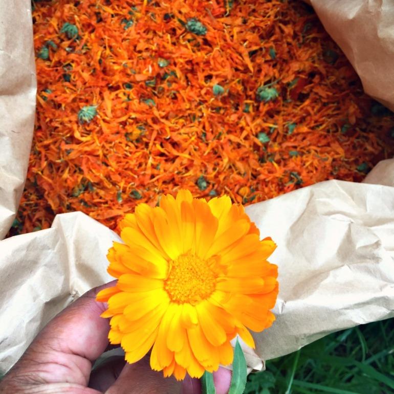 Calendula (marigold) at Herb Farm