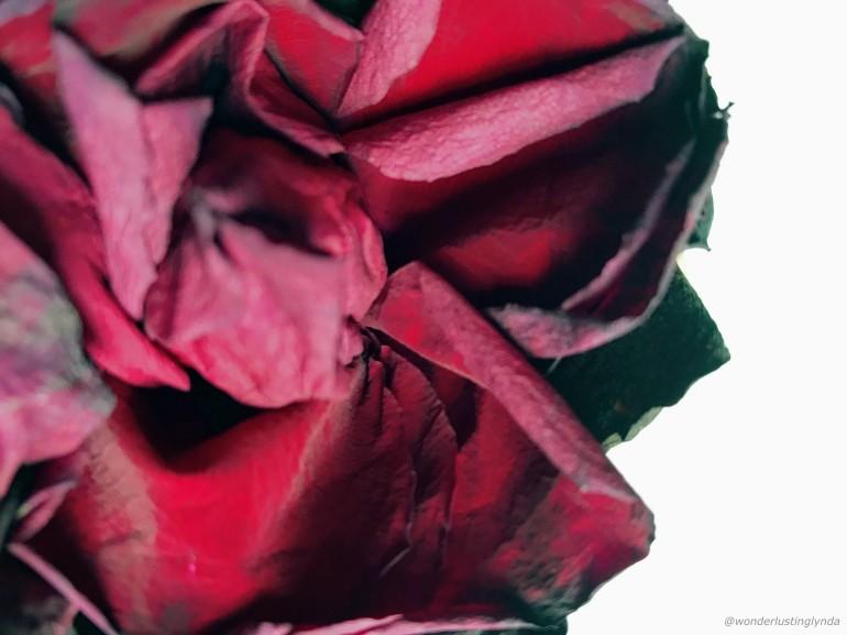 Red rose wonderlusting.co.ukJPG